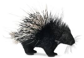 Porcupine a love that offers pain